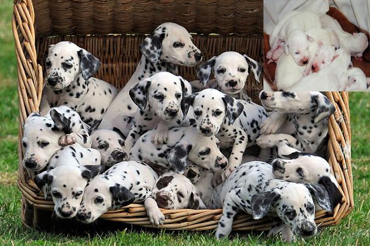 Dalmatian hurricane Zeta puppies