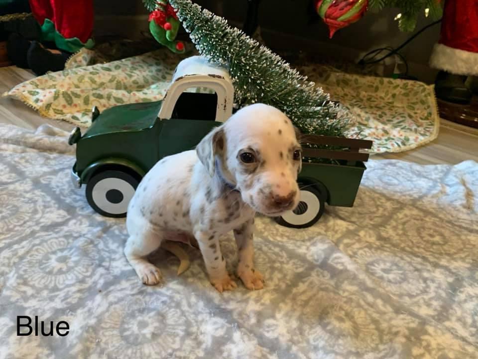 Dalmatian Puppy Blue Collar Born 10/20
