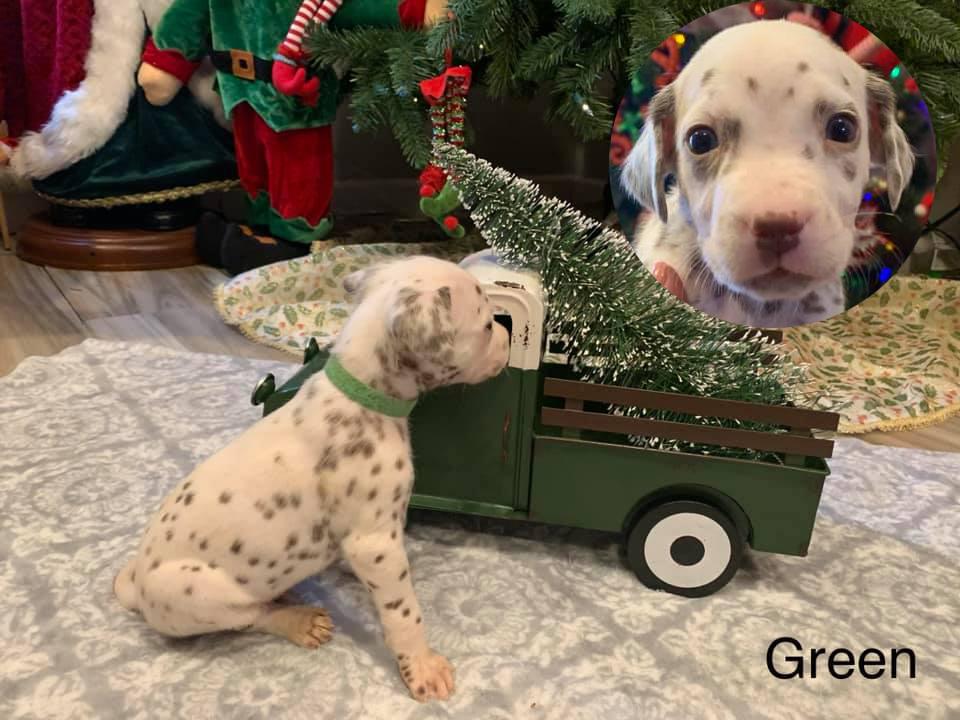 Dalmatian Puppy Green Collar Born 10/20