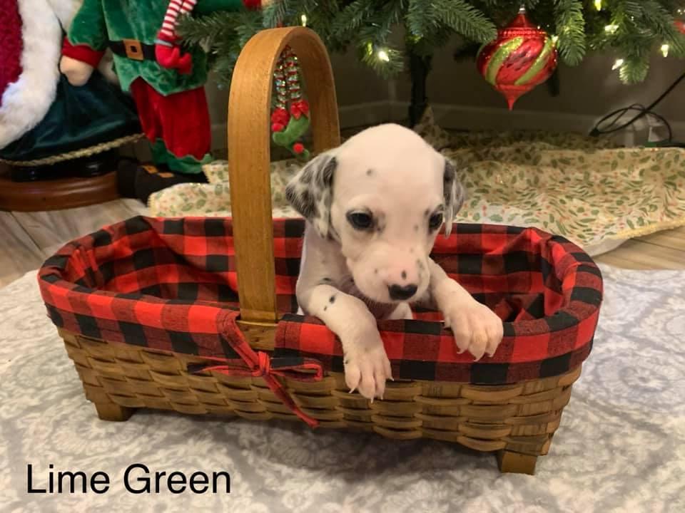 Dalmatian Puppy Lime Green Collar Born 10/20