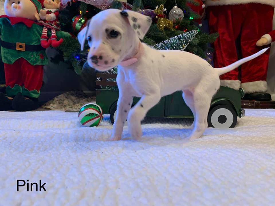 Dalmatian Puppy Pink Collar Born 10/20