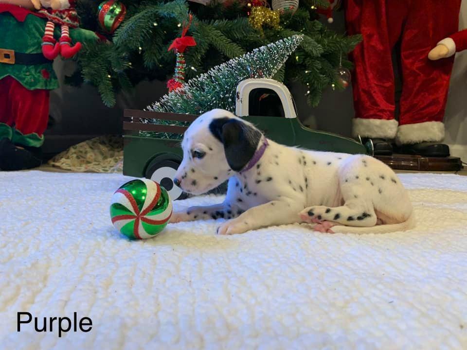 Dalmatian Puppy Purple Collar Born 10/20